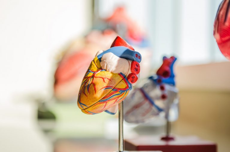 Heart model anatomy